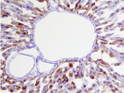 Glutathione Peroxidase 1 / GPX1 Antibody