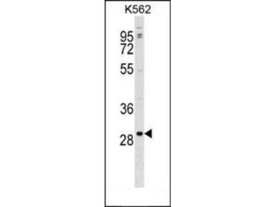 POLR3G antibody