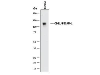 CD31 / PECAM-1 Antibody
