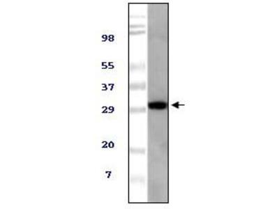 TUG antibody