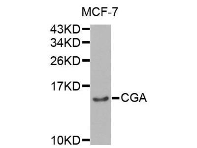 CGA antibody