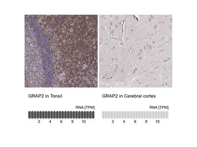 Anti-GRAP2 Antibody