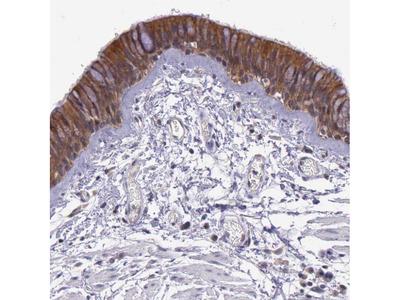 Anti-IGBP1 Antibody