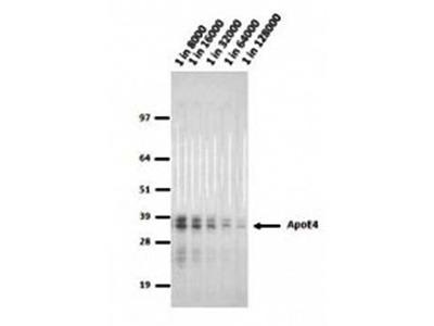 Apolipoprotein E4 antibody