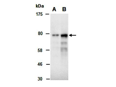 PRKCA antibody