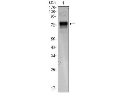 XBP1 antibody
