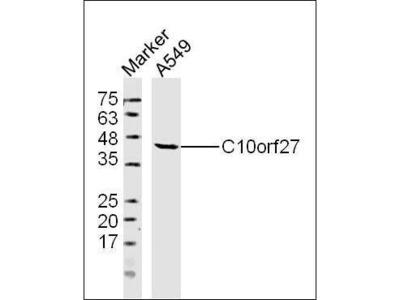 C10orf27 antibody
