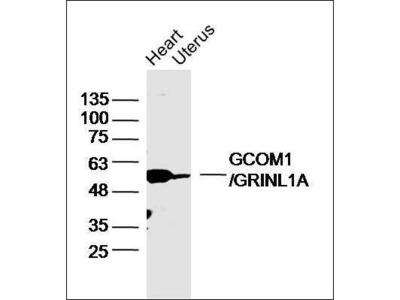 GCOM1 antibody