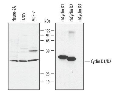 Human / Mouse Cyclin D1 / D2 Antibody