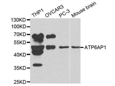 ATP6AP1 antibody