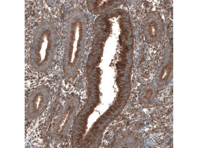 Anti-SEC31A Antibody