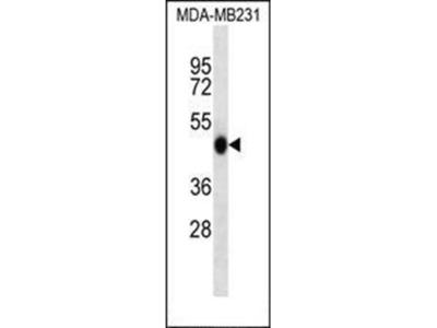 WIPI2 antibody