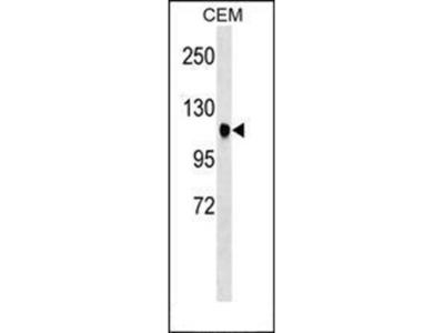 ATXN7 antibody