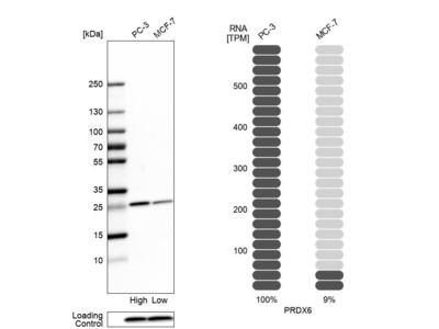 Anti-PRDX6 Antibody