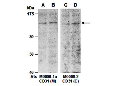 CD31 antibody pair
