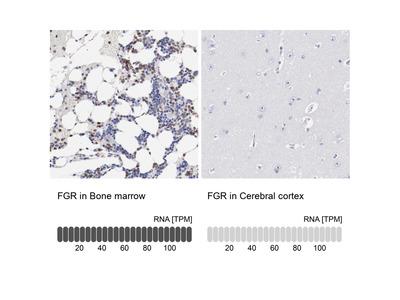 Anti-FGR Antibody