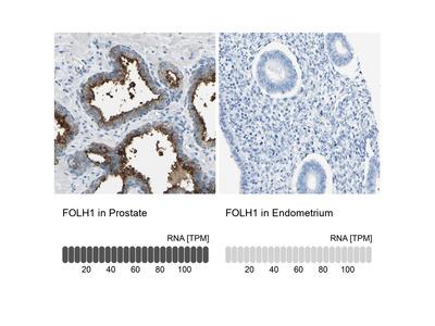 Anti-FOLH1 Antibody