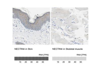 Anti-NECTIN4 Antibody