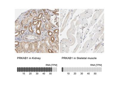 Anti-PRKAB1 Antibody