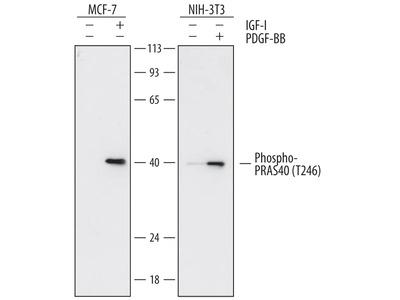 Phospho-PRAS40 (T246) Antibody