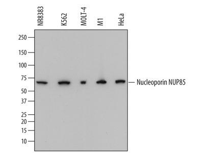 Nucleoporin NUP85 Antibody
