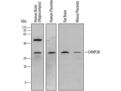 CHMP2B Antibody
