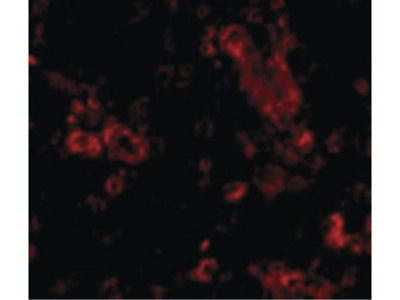 Trim30 Antibody