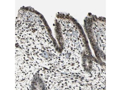 Anti-NR2C2 Antibody