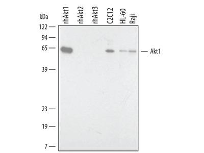 Human / Mouse / Rat Akt1 Antibody