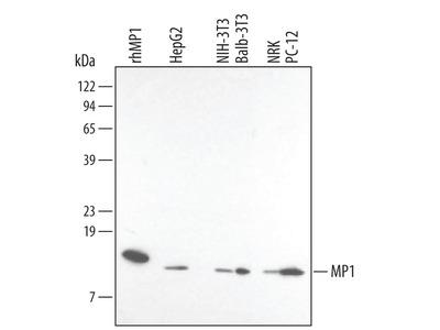 MP1 Antibody