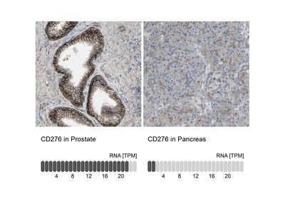 Anti-CD276 Antibody