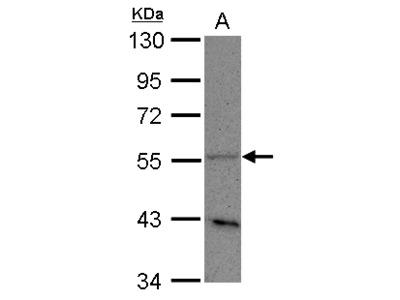 PLD3 / Phospholipase D3 Polyclonal Antibody