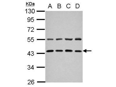 ZFYVE27 / Protrudin Antibody