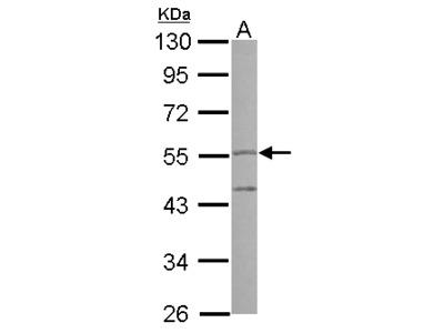 PI16 Antibody