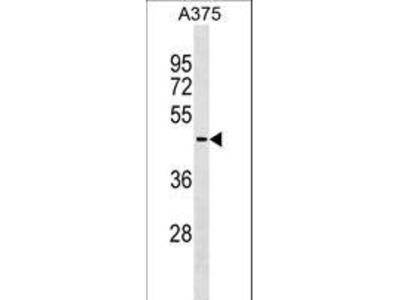 AKT1S1 / PRAS40 Monoclonal Antibody
