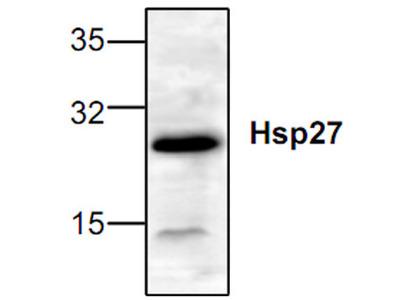 Hsp27 Antibody