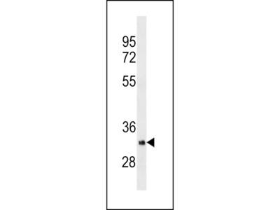 OR5B12 Monoclonal Antibody