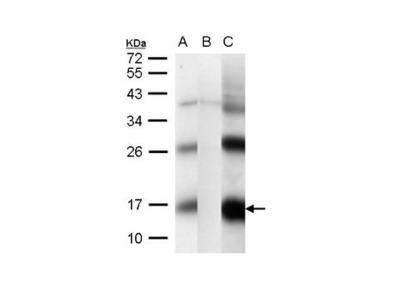 CG1458 Polyclonal Antibody