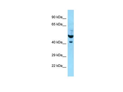 PLAUR Antibody - N-terminal region (ARP63076_P050)