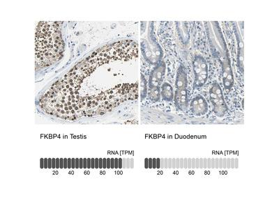 Anti-FKBP4 Antibody