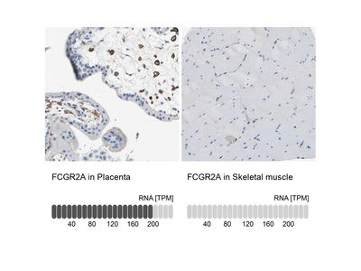 Anti-FCGR2A Antibody