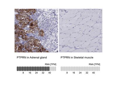 Anti-PTPRN Antibody