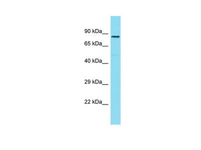 ZYG11A Antibody - C-terminal region (ARP69919_P050)