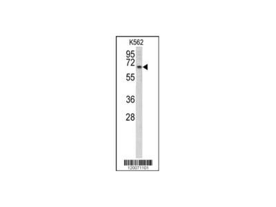 GLS2 Antibody - C-terminal region (OAAB03686)