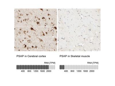 Anti-PSAP Antibody