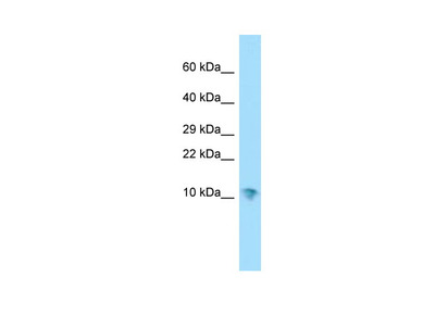 SERF1A Antibody - N-terminal region (ARP67287_P050)