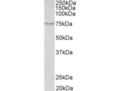 SLC6A4 Antibody - C Terminus (OAEB02575)