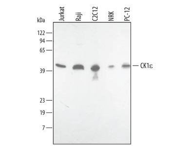 Casein Kinase 1 epsilon Antibody
