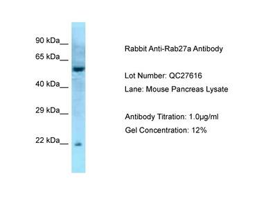 Rab27a antibody - middle region (ARP56564_P050)