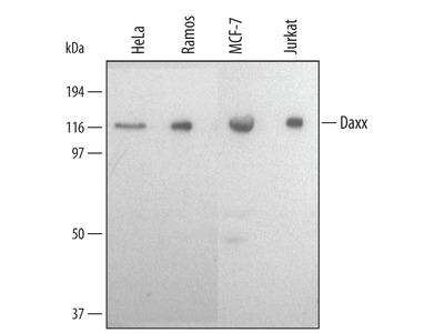 Daxx Antibody